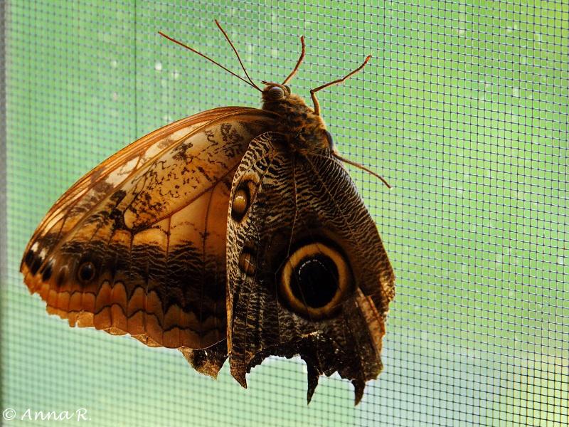 Motyl Caligo memnon